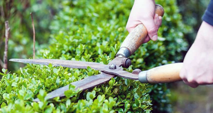 Garden service work - hedge trimming.